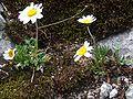 Leucanthemopsis alpina T22-3.jpg