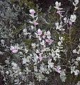 Leucophyllum frutescens (homeredwardprice) 002.jpg