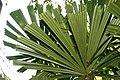 Licuala spinosa 8zz.jpg