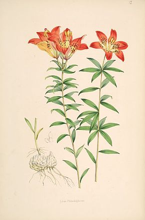 Description de l'image  Lilium_philadelphicum.jpg.