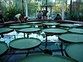 Lily Pond, Botanic Park, Adelaide, South Australia - panoramio.jpg
