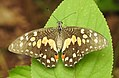 Lime Butterfly Papilio demoleus old specimen DSCN7007 (1).jpg
