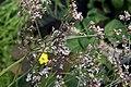 Limonium latifolium 1zz.jpg