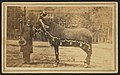 Lincoln's favorite horse on the day of his master's funeral, Lincoln Home National Historic Site, 1865. (46fd6d2b5db24fbb8f63ac905e214ea3).jpg