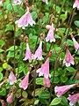 Linnaea borealis - Karen Dillman.jpg