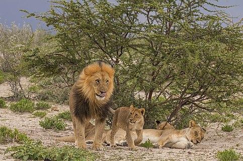 Lion (Panthera leo) male and cub in Etosha National Park, Namibia