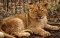 Lion Cub (4299928821).jpg