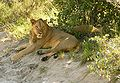 Lions4 chobe national park.jpg