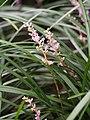Liriope spicata 2016-07-23 04.jpg