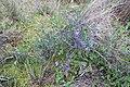 Lithodora fruticosa 01 LM Roque Aubais 040320.jpg