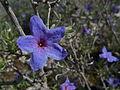 Lithodora fruticosa M1.jpg
