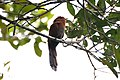 Little Cuckoo (5306039683).jpg