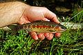 Little Kern Golden Trout.jpg