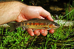 Little Kern golden trout - Image: Little Kern Golden Trout