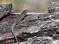 Lizards encounter each other (33860584532).jpg