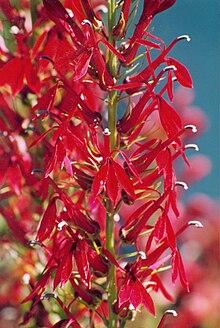 Lobelia cardinalis-02.jpg