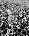 Lois Duncan Steinmetz in a field of daisies in Taos, New Mexico.jpg