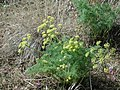 Lomatium grayi 2 plant Boise foothills 3-27-04 Gina Glenne.jpg