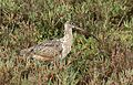 Long-billed curlew, Numenius americanus, Moss Landing (Elkhorn Slough and beach), California, USA. (30837253782).jpg