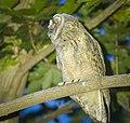 Long-eared owl (42015013315).jpg