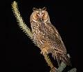 Long-eared owl (43893100052).jpg