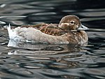 Long-tailed Duck RWD1.jpg