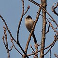 Long-tailed tit on the branch of tree - 2.jpg