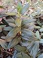 Lonicera japonica 11a.JPG
