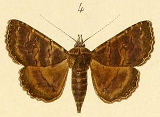 <i>Lophotavia</i> genus of insects