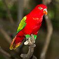 Lorius garrulus -Kuala Lumpur Bird Park, Malaysia-8a-2c.jpg