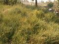 Lumbar plant ephedra distachya.jpg