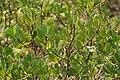 Lumnitzera racemosa, Black Mangrove W IMG 6941.jpg
