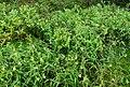 Mélampyre des prés (Melampyrum pratense)FL4flower.jpg