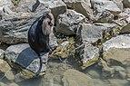 Macaca silenus (Ouandérou) - 429.jpg