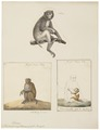 Macacus erythraeus - 1700-1880 - Print - Iconographia Zoologica - Special Collections University of Amsterdam - UBA01 IZ20000075.tif