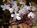 Madeira, Palheiro Gardens - Clematis grandiflora (Afrika) IMG 2188.JPG