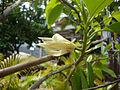 Magnolia × alba (2).JPG