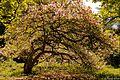 Magnolia din Arboretum Simeria.jpg