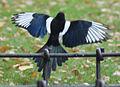 Magpie in Madrid (Spain) 30.jpg