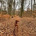 Magyar Vizsla male 1 year old dog in forest.jpg