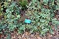 Mahonia californica 'Shasta Blue' (Mahonia dictyota) - Regional Parks Botanic Garden, Berkeley, CA - DSC04290.JPG