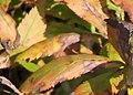 Maianthemum stellatum 0zz.jpg