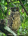 Majestic Brown Fish Owl.jpg