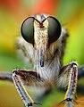 Male Robber Fly (Triorla interrupta).jpg