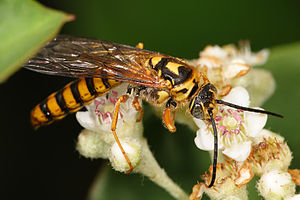 Male yellow flower wasp02.jpg