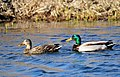 Mallard Pair on Seedskadee National Wildlife Refuge (25609695064).jpg