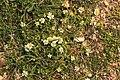 Malta - Marsaxlokk - Triq Delimara - Xrobb L-Ghagin - Anthemis urvilleana + Romulea columnae 02 ies.jpg