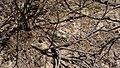 Mammillaria heyderi (26084755165).jpg