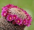 Mammillaria matudae (14148480346).jpg