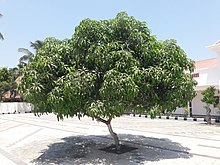 Mangifera indica - Wikipedia